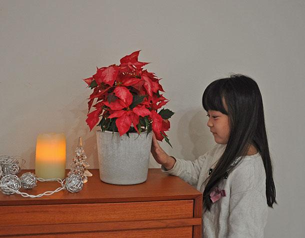 鉢カバーには、クリスマスに似合うポインセチアを入れてみました