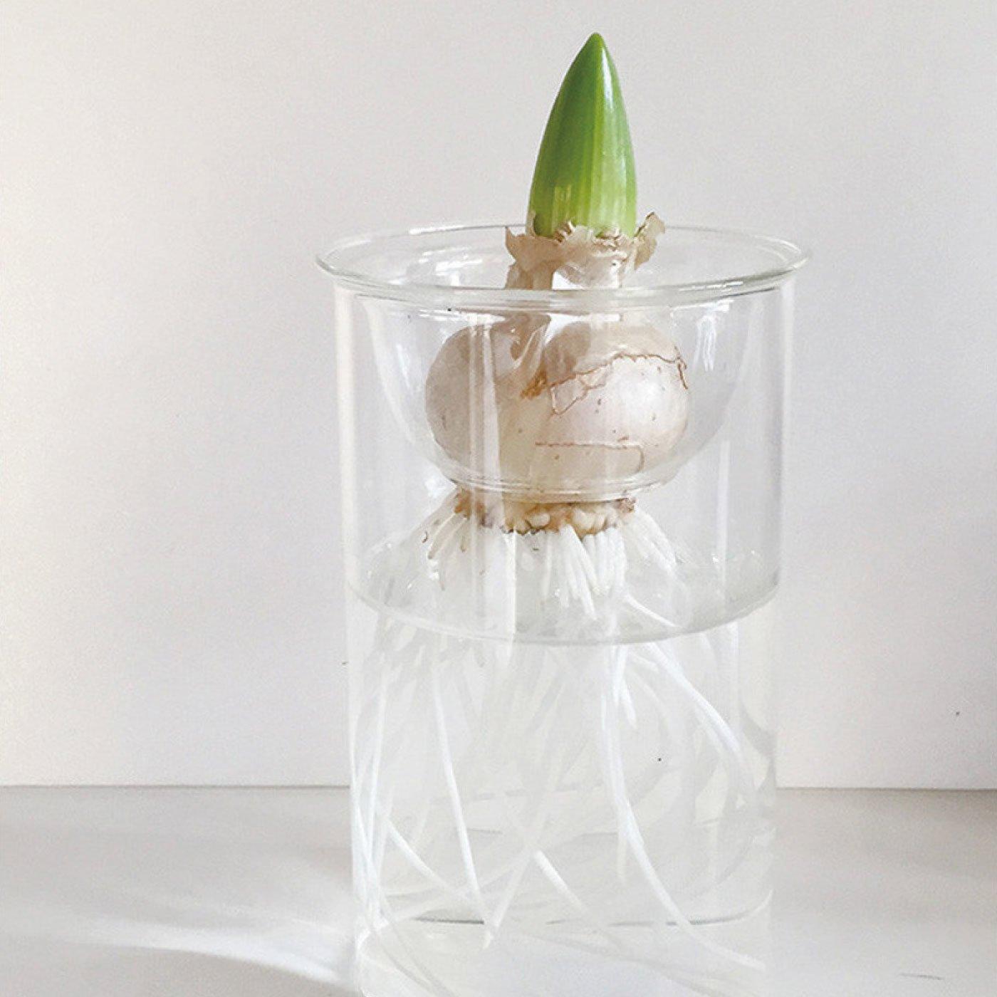 球根を水栽培してみよう BULB VASE ガラスベース ショート