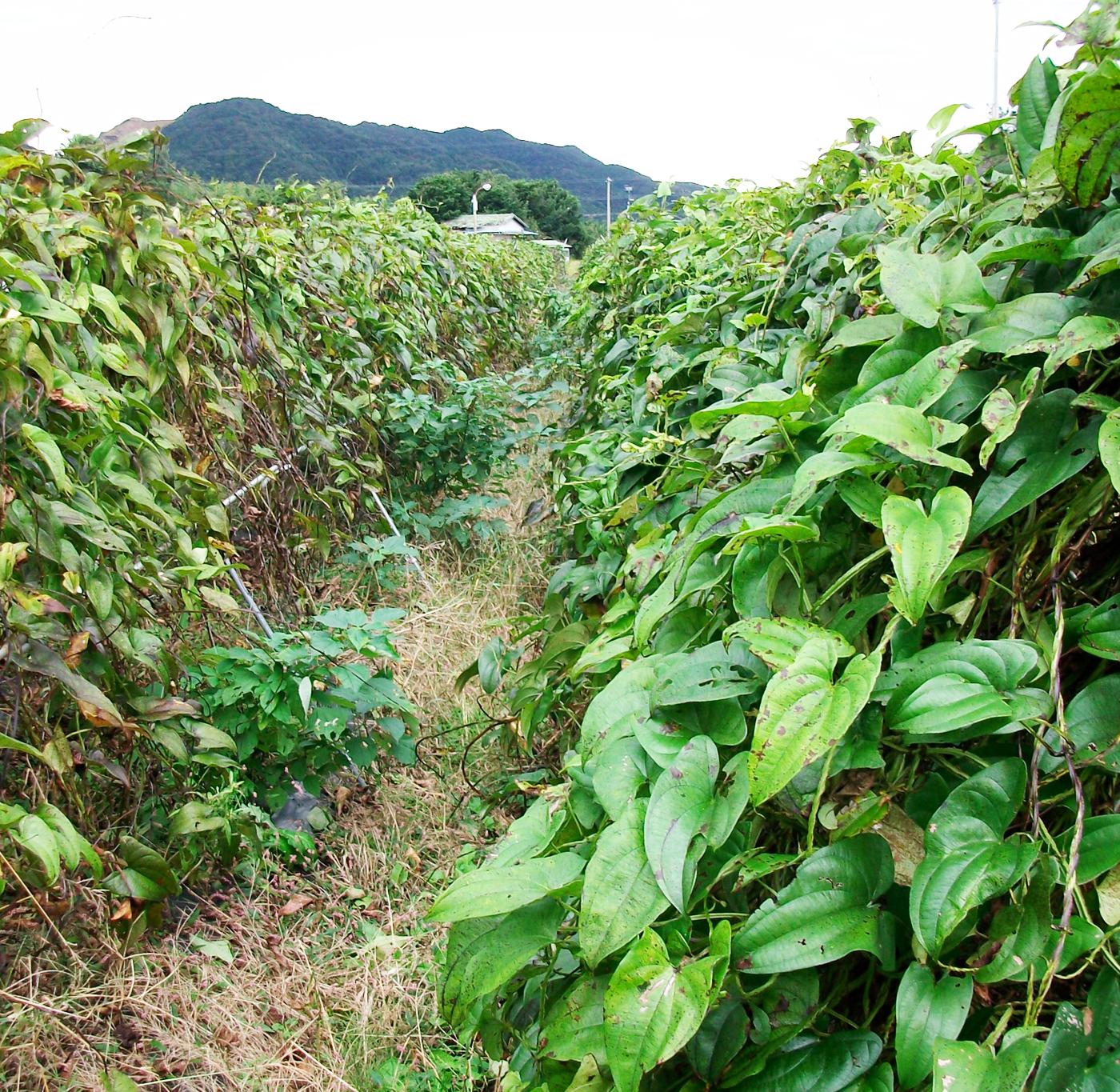 自然栽培山芋の畑