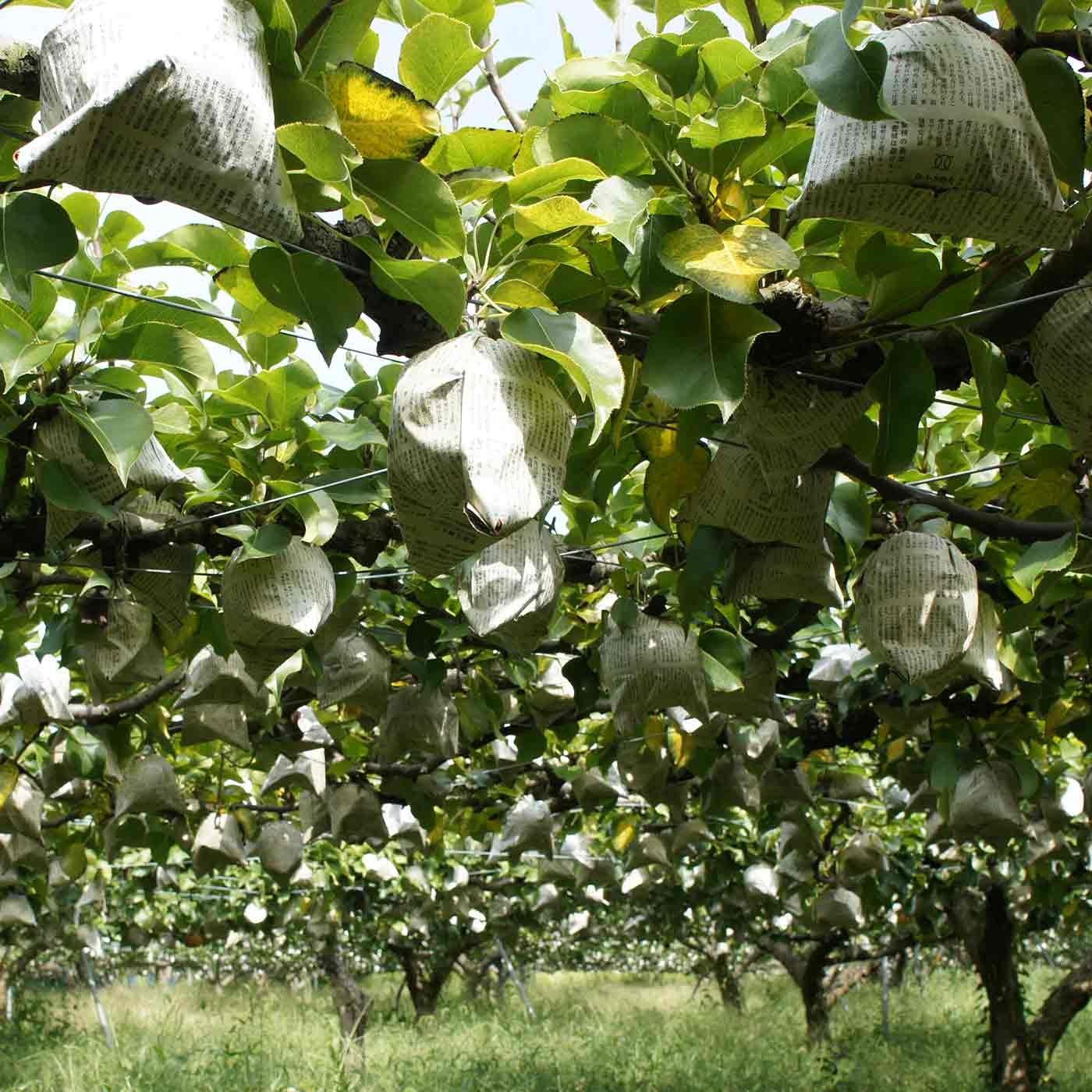 白岩恒美農園の二十世紀梨
