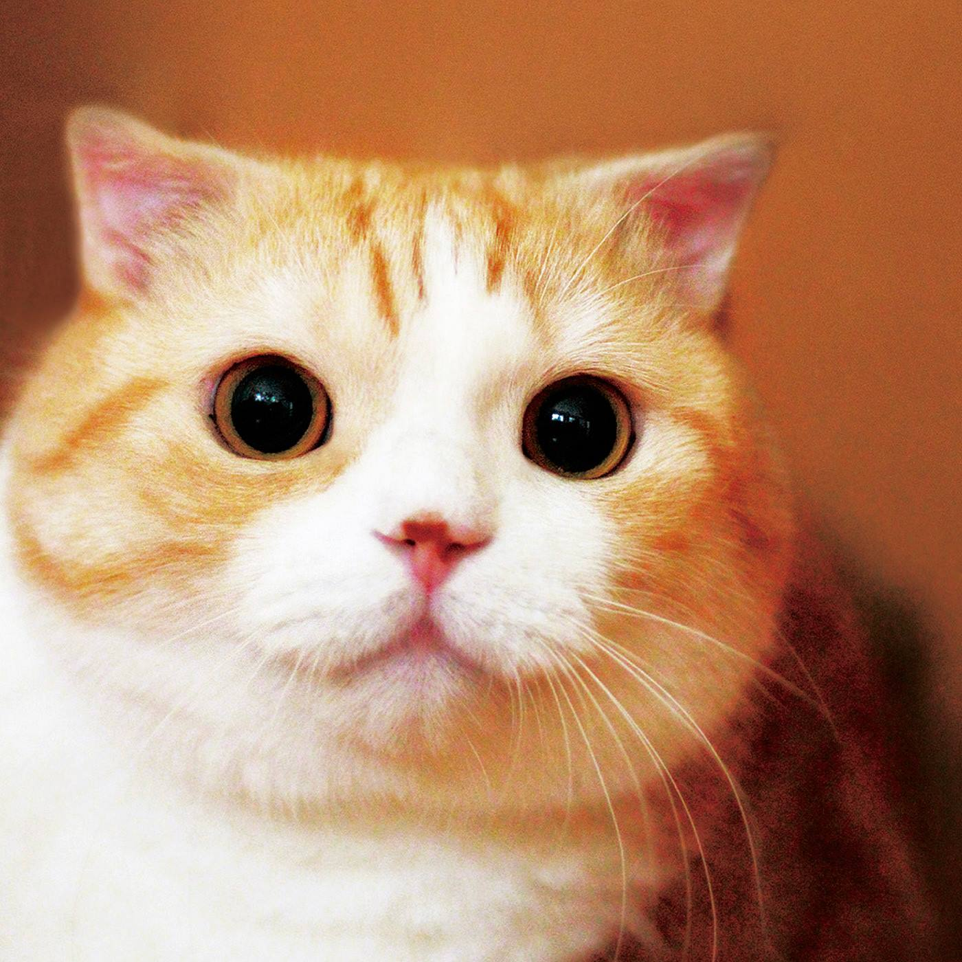 スコティッシュフォールドの龍馬くんは丸いお目めとたれた耳がチャームポイント。これまでも猫部の商品にたびたび登場してくれています。